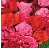 Primrose Primlet Berryblossom Mixed