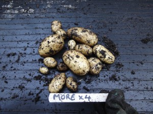 Potato trials - more tubers results