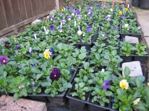 Signs of autumn: Pansies & violas waiting to be planted