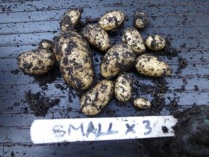Potato trials - small tuber results