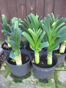 Signs of autumn: Stock leeks growing