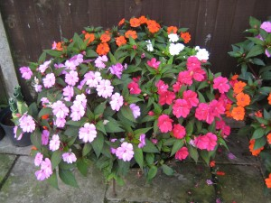 Signs of autumn: Sunpatiens still adding colour
