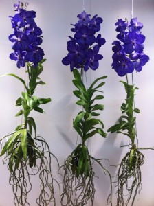 The most indulgent orchid Vanda.. I'd love these in my front room for sure!