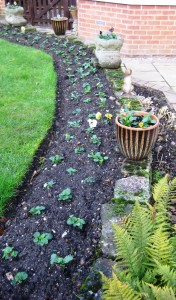 Pansies planted in border