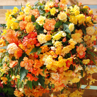 Begonia 'Apricot Shades Improved' F1 Hybrid