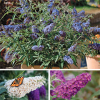 Buddleja 'Buzz'™ Collection