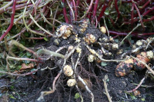 Harvesting oca tubers