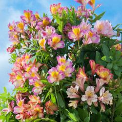 alstromeria tree lily