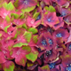 Hydrangea Glam Rock – colour changes in different soils
