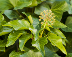 Gardening news - bees, badger culls & hybrid grass