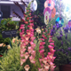 Foxglove 'Illumination Pink' in award-winning Chelsea gardens