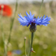 Gardening news – grass-free lawn, coronation meadows