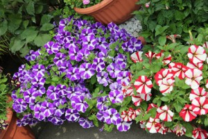 Petunias - customer trial panel update