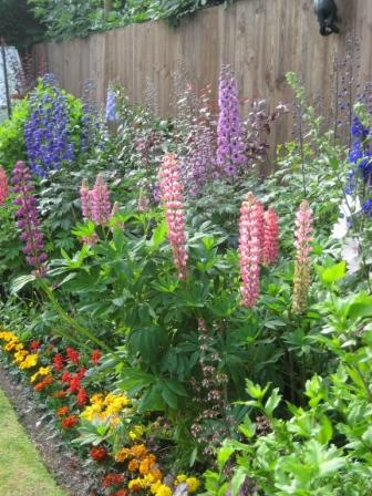 Delphiniums & Lupins flowering well in border
