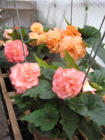 some of my begonias in greenhouse