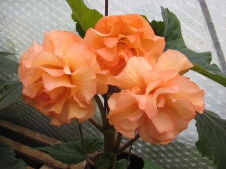 Begonia flowering