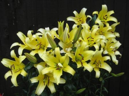 T&M Competition Lily in flower & looking impressive