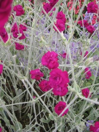 Lychnis coronaria Gardeners World