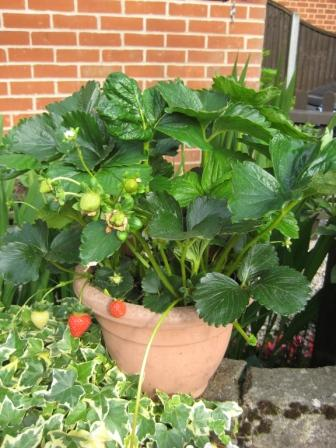 Strawberries fruiting in pots