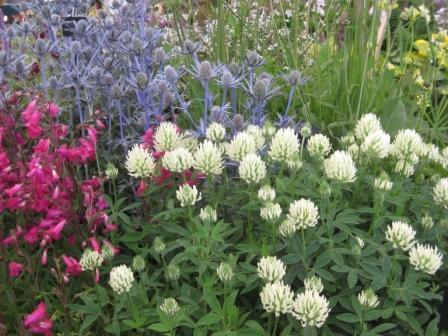 Trifolium ochroleucon , Eyringium & Penstemon planting combination