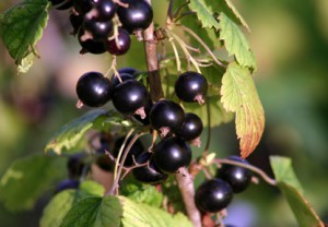 British blackcurrants - the home-grown superfruit