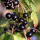 British blackcurrants – the home-grown superfruit