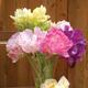 Tulip 'Cupcakes' christened online