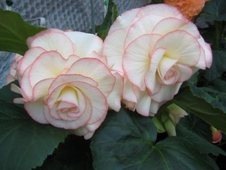 One of my favourites Begonia Fairylight