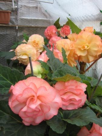 Begonias in greenhouse look glorious