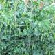 Pea Alexandra – huge plants, bumper crops!