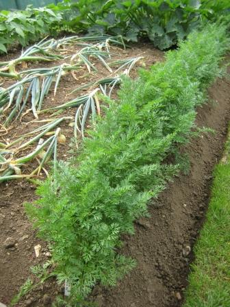 Carrot Eskimo growing for Christmas and Onions fell over ready to harvest soon