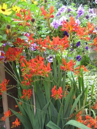 Late flowering perennial Crocosmia
