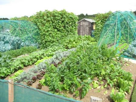 Part of my plot in August, all looking good for a bumper harvest
