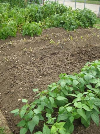Dwarf french beans planted where potatoes were and second earlies cut back