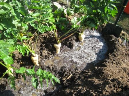 Parsnips being soaked ready for Lifting