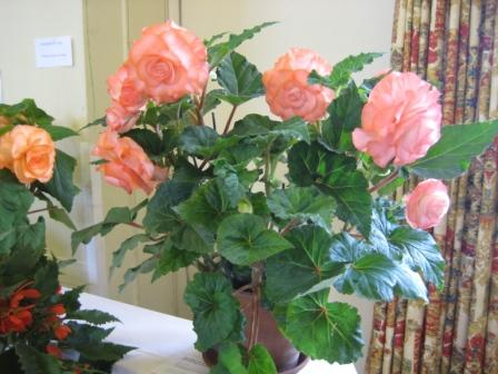 My prize winning Begonia on show bench