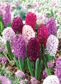 How to grow hyacinths