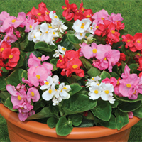 Bedding plants - a revival