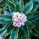 Evergreen Shrubs