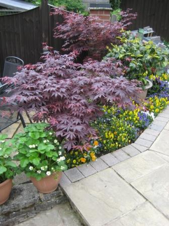 Acer pots have looked superb this year