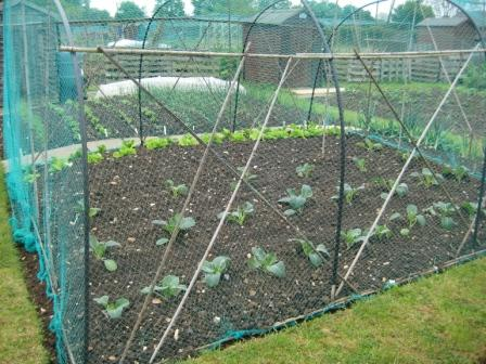 Brassicas under net protection