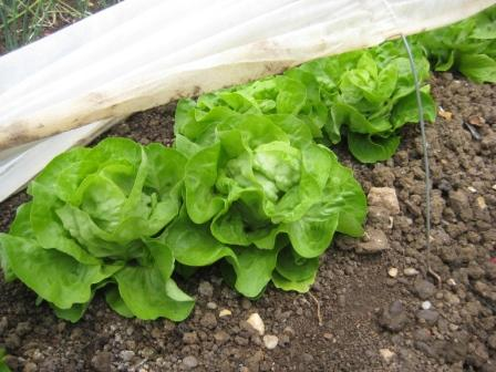 Lettuce Analena under fleece cloche ready to cut