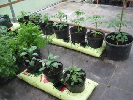 Tomatotes & peppers planted in polytunnel