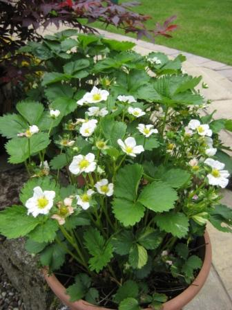 Strawberries in flower, should be a bumper crop