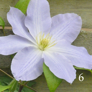 Clematis-Top-to-Bottom-Blue