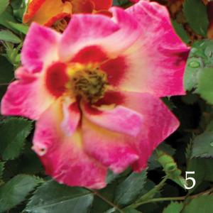 Rose-Sweet-Spot-Calypso