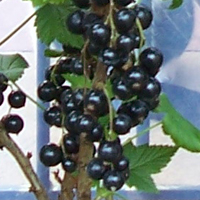 blackcurrant bushes