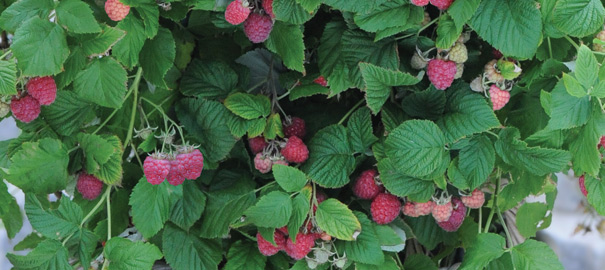 Raspberry 'Ruby Beauty'™ – knocking out traditional varieties