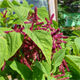 Amaranthus – the jungle plant