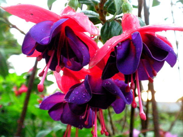 fuchsia duke of wellington